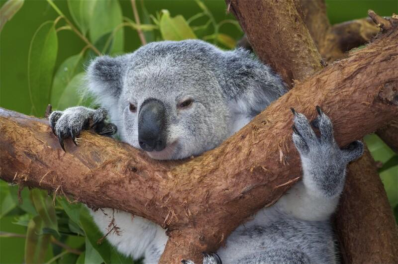 Koala bear hugs tree